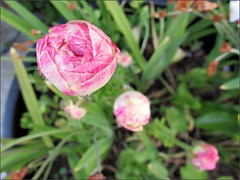 Pink and white ranunculus, another view