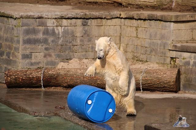 Eisbär Fiete im Zoo Rostock 20.03.2016  0173