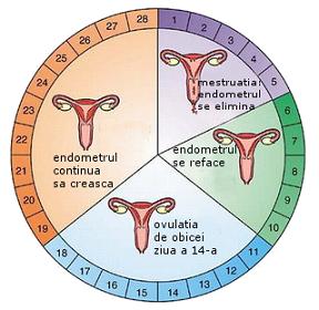 monitorizare ovulatie ecografic - ciclul mestrual