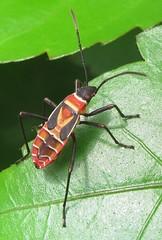 Heteropteran nymph