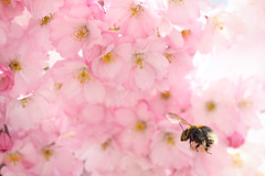 マルハナバチと桜 XI