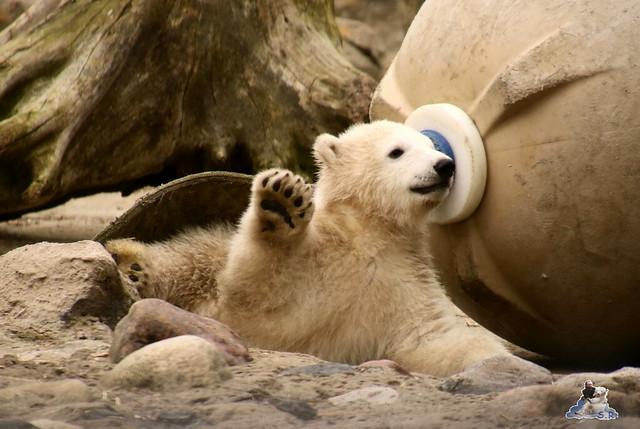 Eisbär Lili im Zoo am Meer Bremerhaven 10.04.2016 Teil 1 08