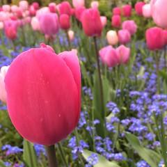Tulip close-up.