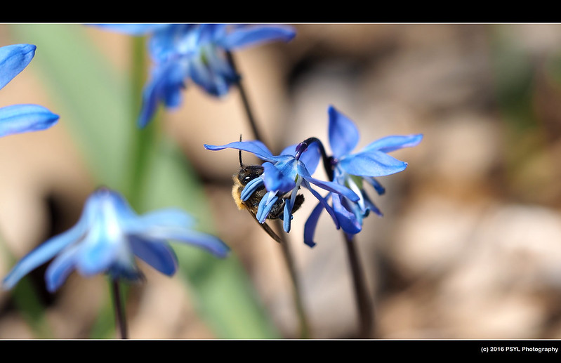 Andrena bee on squill