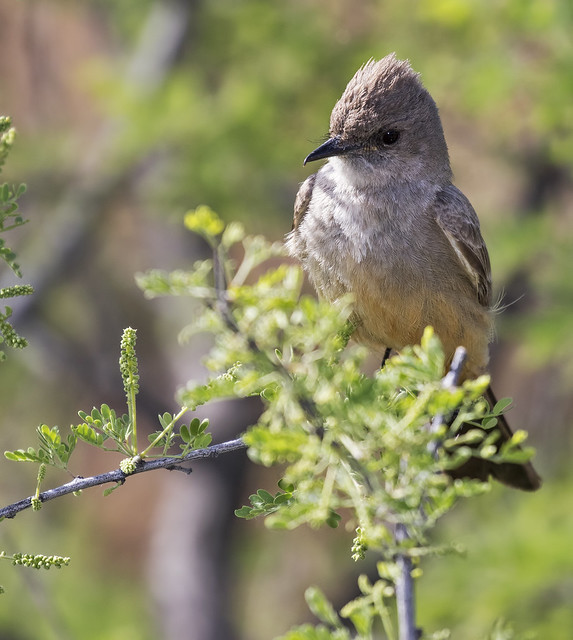 Say's Phoebe 2-7D2-210416