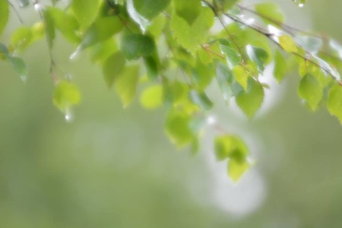 summer blur green nature leaves rain forest finland landscape scenery view outdoor foliage birch