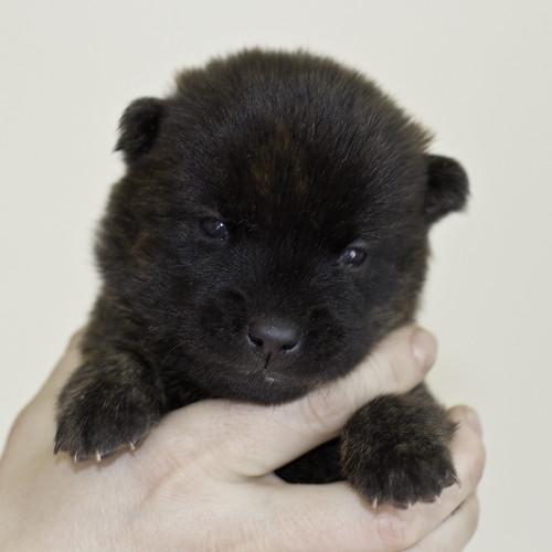 Kumi-Litter5-Day20-Puppy5-Male-a