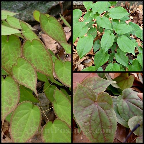 rubrum foliage