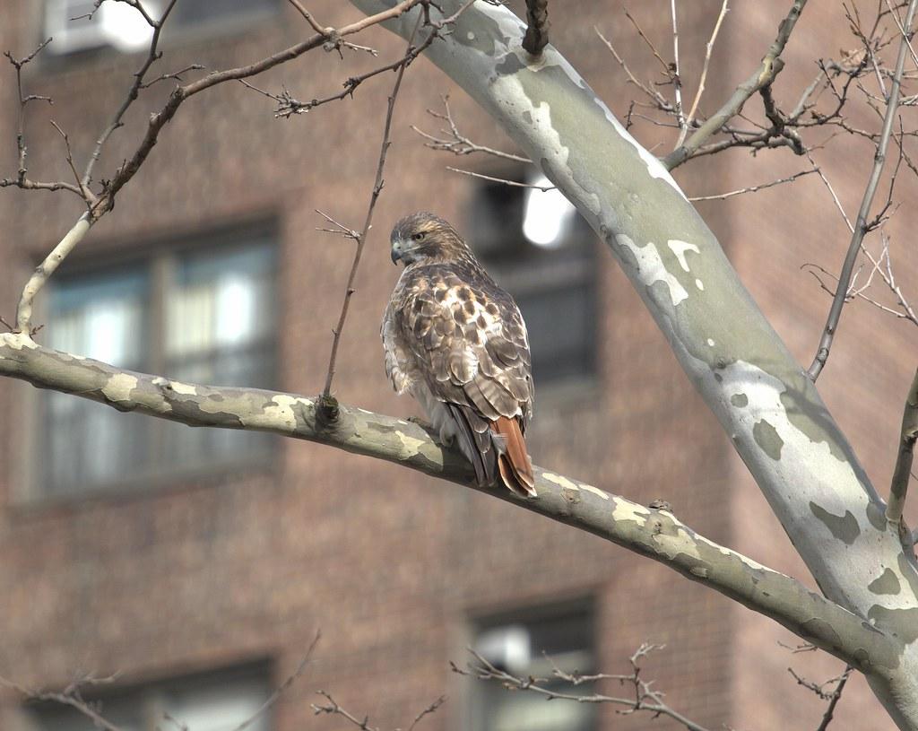 LES hawk