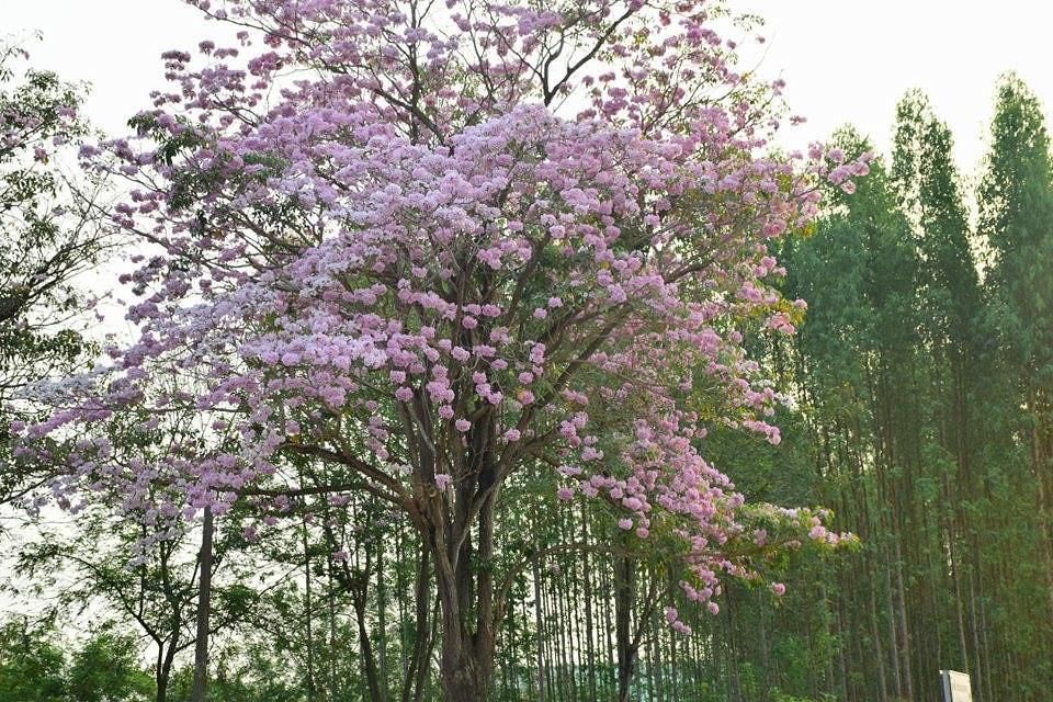 Tabebuia rosea (4)