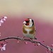 Goldfinch by stanley.ashbourne