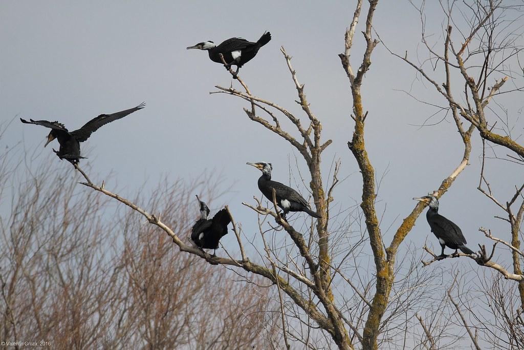 cormorani 1