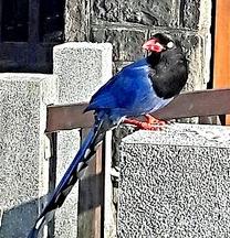 陽明山冷水坑藍鵲 (1)