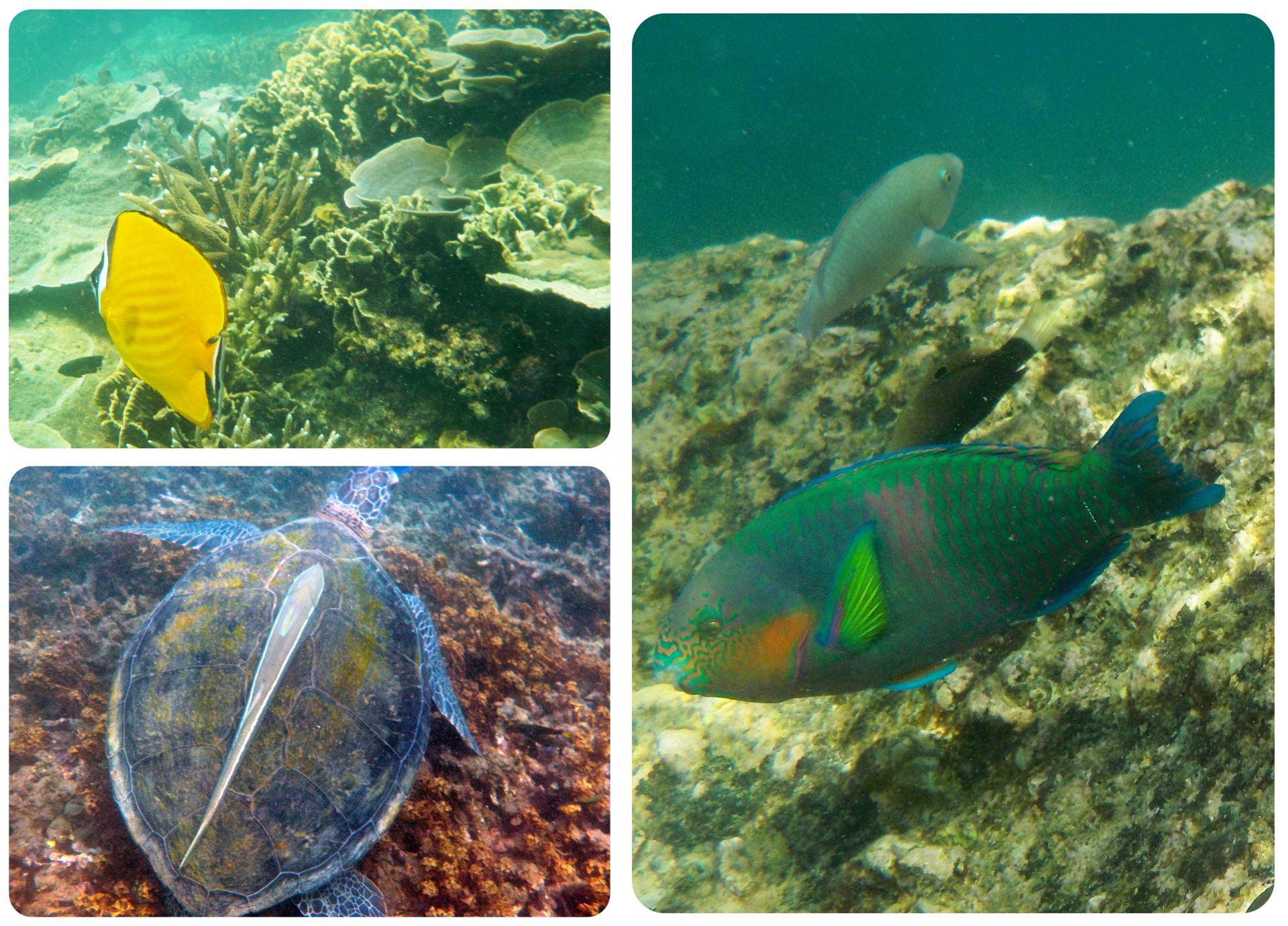 Koh Tao snorkeling fish turtle