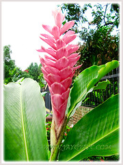 Alpinia purpurata with pink bracts, the Jungle Queen, Nov 23 2011