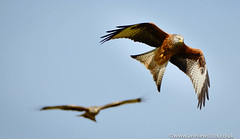 Red Kites in the Elan Valley