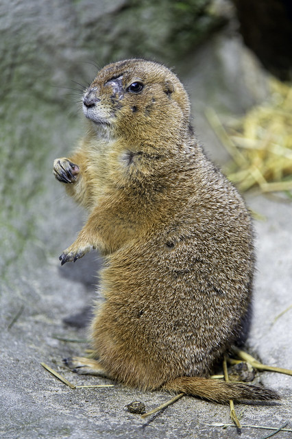 Prarie dog with lots of scars