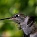Anna's Hummingbird by ~MAMA Z~