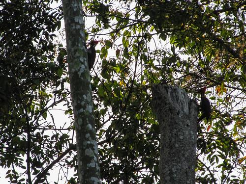 Parc National de Tikal: deux piverts lors de leur rendez-vous quotidien devant notre chambre
