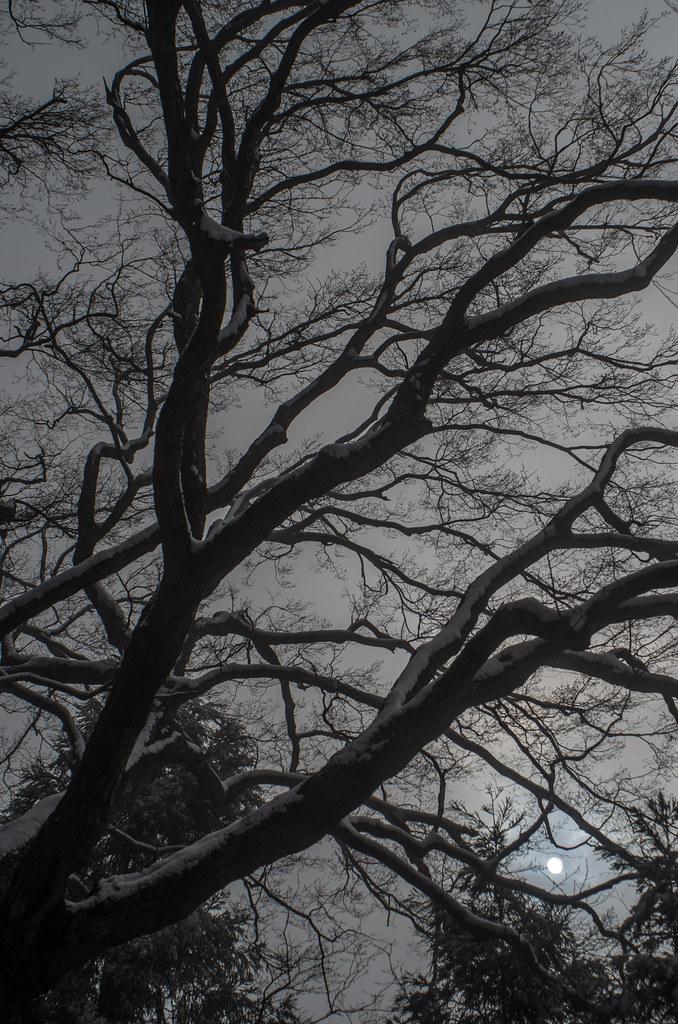Quercus mongolica