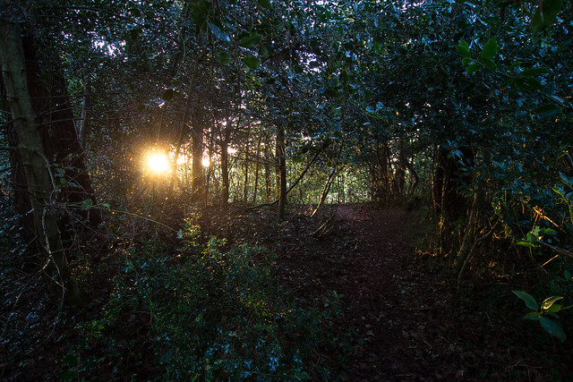 Sunset in the Holly Grove