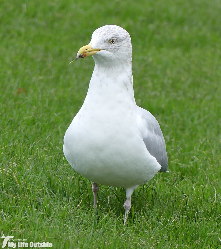 P1000025 - Herring Gull, Aberystwyth