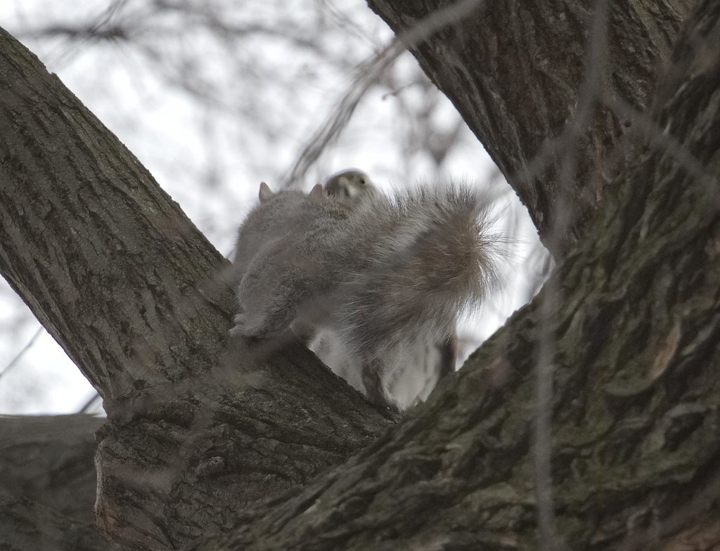 Squirrel has a face-off with a Cooper's Hawk