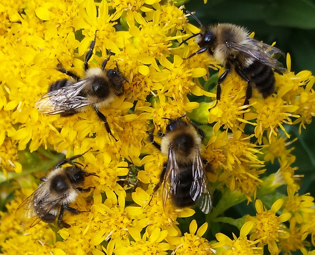 four bumblebees close together, with a barely visible green bee between them