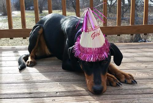 Happy First Birthday Penny! #dobermanpuppy #rescueddog #adoptdontshop #dobermanmix #LapdogCreations ©LapdogCreations