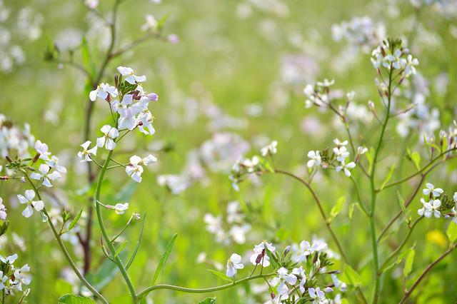 ハマダイコンの花
