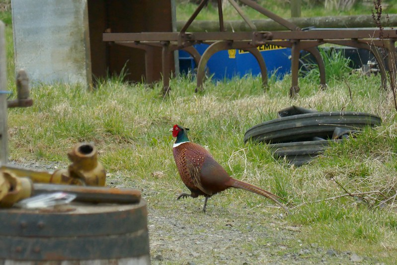 Walking pheasant in 4k
