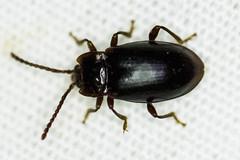 Handsome Fungus Beetle (Aphorista morosa)