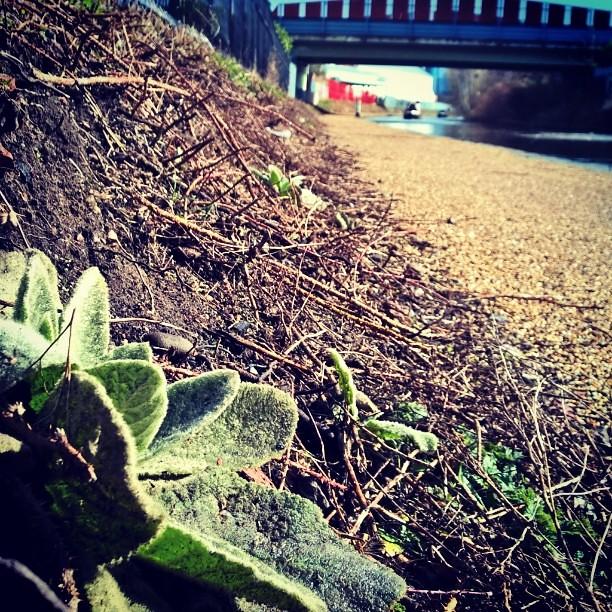 #GreatMullien #BridgewaterCanal #UrbanBotany