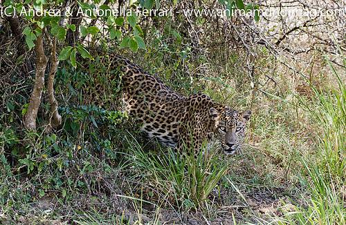 AnimaMundiMagazine posted a photo:Sri Lankan leopard Panthera pardus kotiya,Yala National Park, Sri Lanka