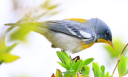 county male howard reis larry northern warbler parula