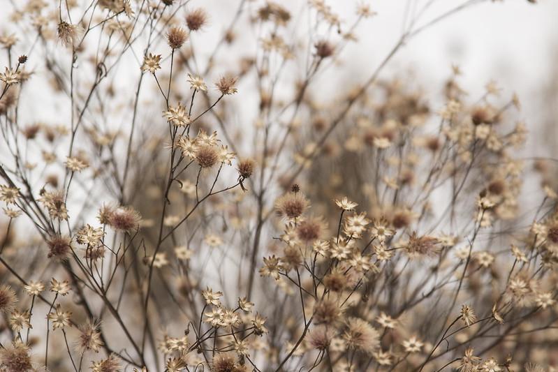 snowy vernonia