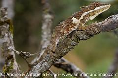 Pygmy lizard Cophotis ceylanica