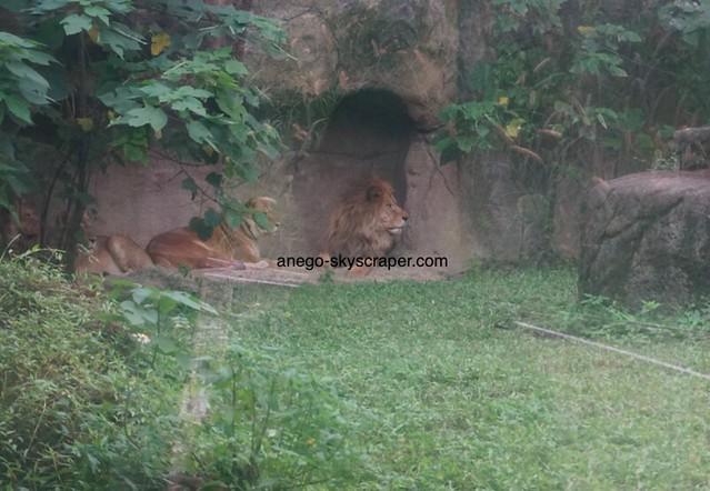 動物園 ライオン一家