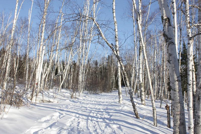 Bare popple trees along a snowy foot path