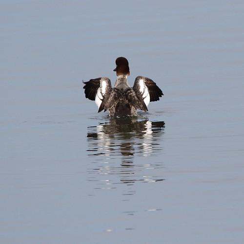 bird nature canon washingtonstate skagitcounty commongoldeneye samishflats skagitwildlifearea tamronsp150600mmf563divcusd