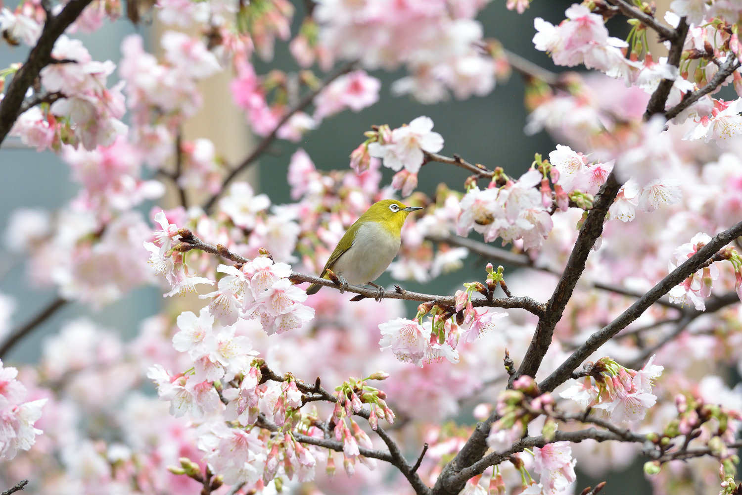 Sakura_White-eye_6925