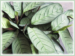 Beautiful patterned leaves of flowering Ctenanthe burle-marxii 'Amagris' (Ctenanthe Amagris, Fishbone Prayer Plant), July 17 2013