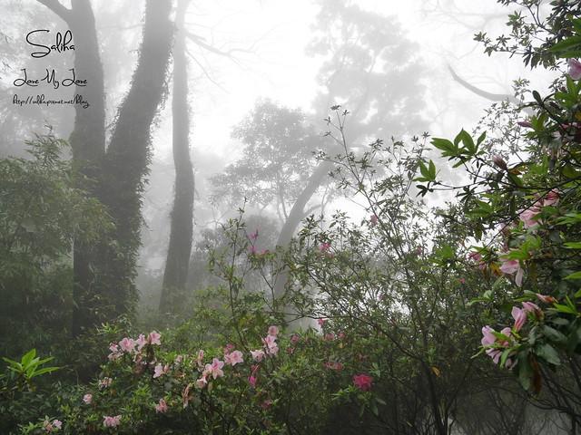 台北一日遊景點陽明山花季賞櫻花 (8)