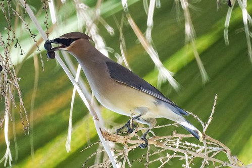 Cedar Waxwing at the palm tree