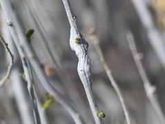 Elliptical Stem Gall Tephritid (Valentibulla californica), Wrightwood, CA, 3-13-16
