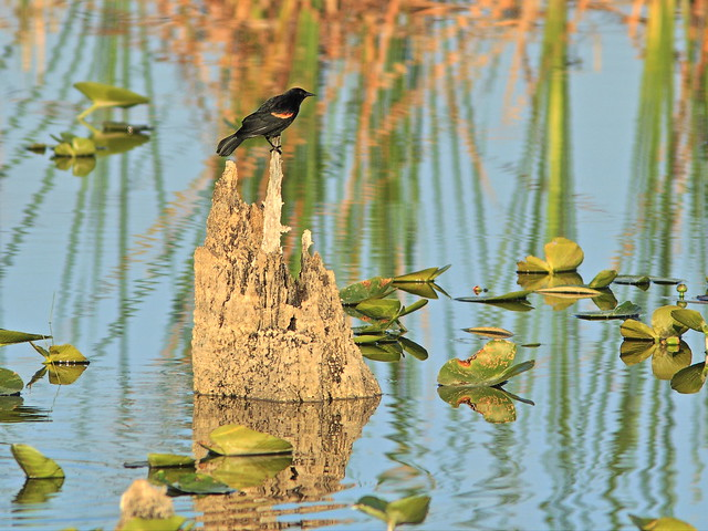 Red-winged Blackbird on Enchanted Island 20160412