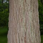 Oak trees: Quercus macrocarpa