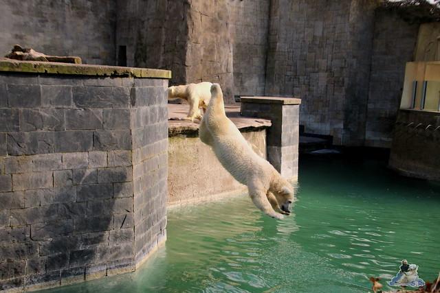 Eisbär Fiete im Zoo Rostock 20.03.2016  0157