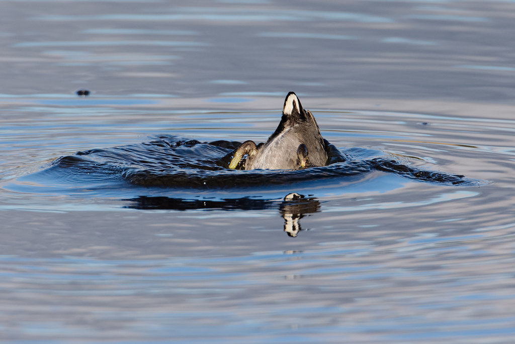 The tail end of an American coot's dive