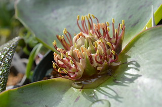 DSC_2383 Massonia latifolia マッソニア ラティフォリア